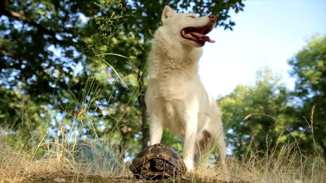 unusual friendship between dog and turtle - siberian husky stock videos & royalty-free footage