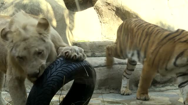 unusual friendship between the white lion and bengal tiger that belong to two different species of wild cats amazed the visitors in istanbul's aslan... - 18 23 months bildbanksvideor och videomaterial från bakom kulisserna