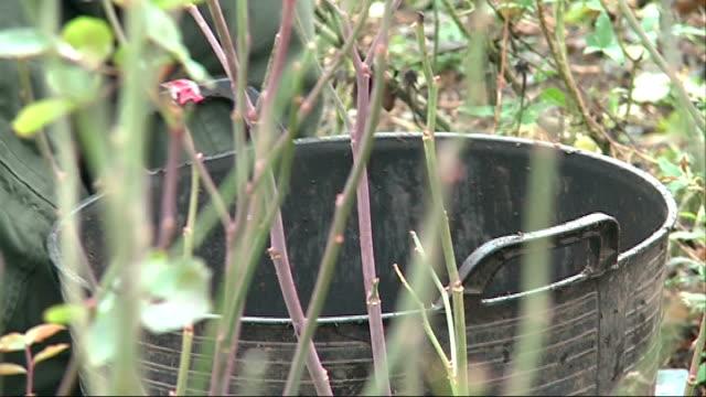 vídeos y material grabado en eventos de stock de unusually warm december weather impacts on wildlife; shrivelled pink rose matthew pottage along with reporter **pottage interview overlaid sot**... - bare tree