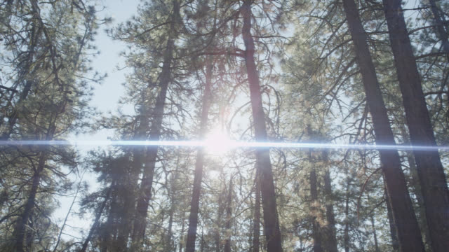 up angle of sun shining through pine trees in forest. lens flare.