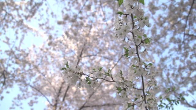 近くに桜の花を - 政治行動委員会点の映像素材/bロール