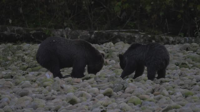 vídeos de stock e filmes b-roll de up close: grizzly bear intensely digging in rocks, other bear joins - outro tema