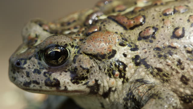 Up close macro of Western Toad