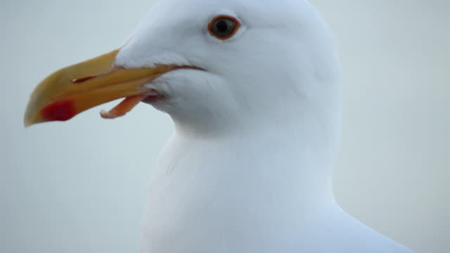 up close shot of seagull looking around - maul stock-videos und b-roll-filmmaterial