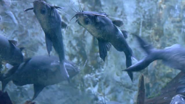 up side down catfish - aquatic organism stock videos & royalty-free footage