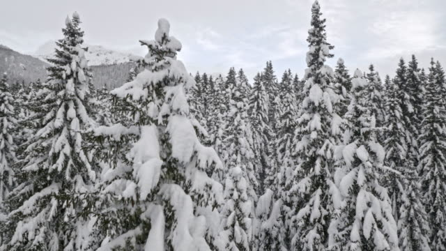 AERIAL Up the spruce tree in a snow covered forest