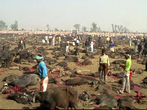up to a million hindu devotees have gathered in a village in southern nepal to witness the slaughter of hundreds of thousands of animals in a mass... - animal drawn stock videos & royalty-free footage