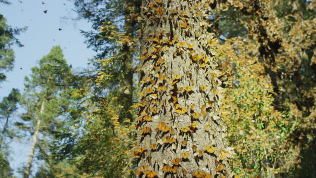 crane up tree trunk to reveal massed monarch butterflies taking off - monarch butterfly stock videos & royalty-free footage