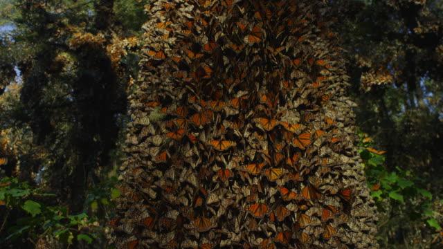 la crane up tree trunk with massed monarch butterflies - morelia video stock e b–roll