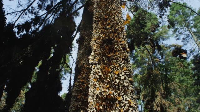 vidéos et rushes de crane up tree trunk with massed monarch butterflies - 50 secondes et plus