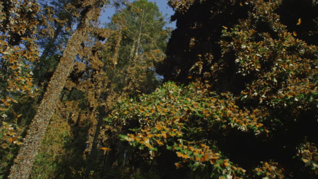 la crane up tree with massed monarch butterflies flying and on branches - farfalla monarca video stock e b–roll