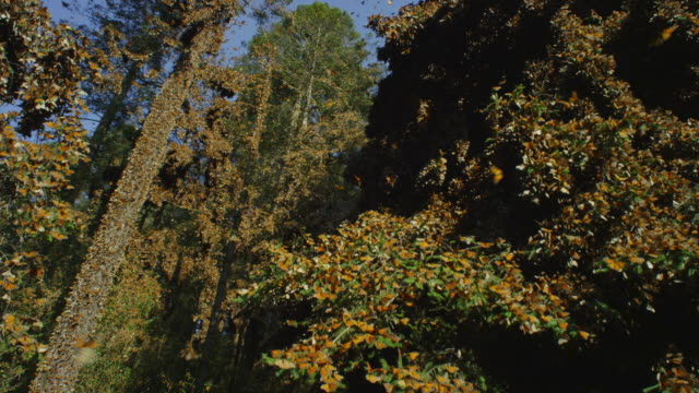 la crane up tree with massed monarch butterflies flying and on branches - monarch butterfly stock videos & royalty-free footage