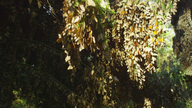 crane up trees with massed monarch butterflies on branches - morelia video stock e b–roll