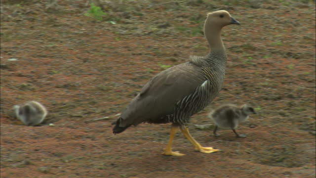 ms, pan, upland goose (chloephaga picta) and goslings, torres del paine national park, patagonia, chile - gosling stock videos & royalty-free footage
