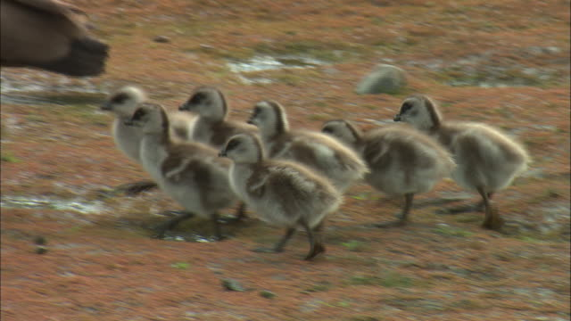 cu, pan, upland goose (chloephaga picta) goslings following mother, torres del paine national park, patagonia, chile - ふわふわ点の映像素材/bロール