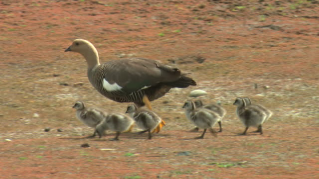 MS, PAN, Upland Goose (Chloephaga picta) goslings following mother, Torres del Paine National Park, Patagonia, Chile