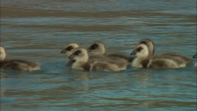 cu, upland goose (chloephaga picta) goslings  on river, torres del paine national park, patagonia, chile - gosling stock videos & royalty-free footage