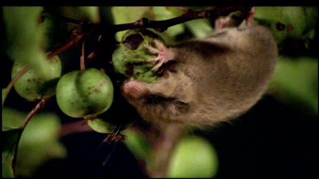 vídeos de stock e filmes b-roll de upside down dormouse eating green nut, japan - roedor