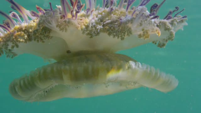 upside down jellyfish, bimini, bahamas - upside down jellyfish stock videos & royalty-free footage