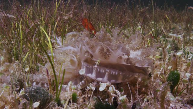 stockvideo's en b-roll-footage met upside down jellyfish in mangrove swamp, bahamas - bimini