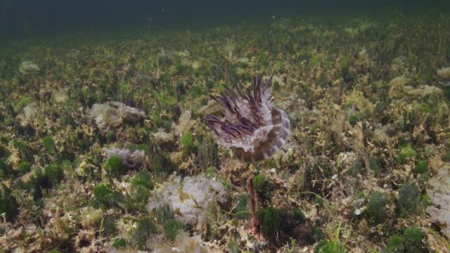 upside down jellyfish in mangrove swamp, bahamas - upside down jellyfish stock videos & royalty-free footage
