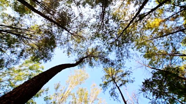 vídeos de stock e filmes b-roll de upward view of the green pine trees in the summertime. - pinhal