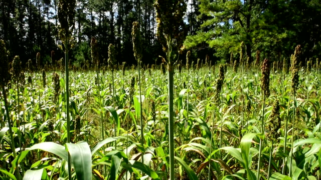 upwards diagonal pan of sorghum planted in food plot - sorghum stock videos & royalty-free footage