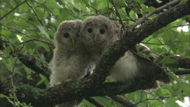 ural owl (strix uralensis japonica)in sarobetsu island  - two animals stock videos and b-roll footage