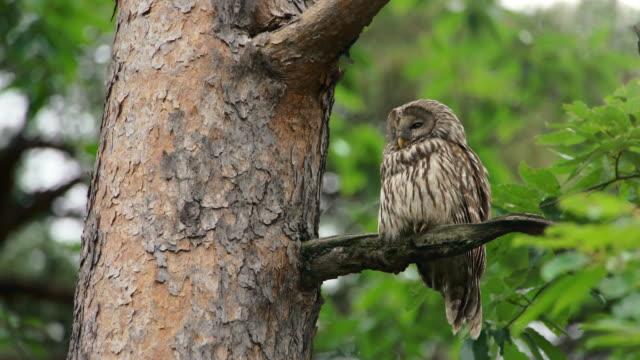ural owl perching on the branch in uljin geumgang pine forest / uljin-gun, gyeongsangbuk-do, south korea - perching stock videos & royalty-free footage