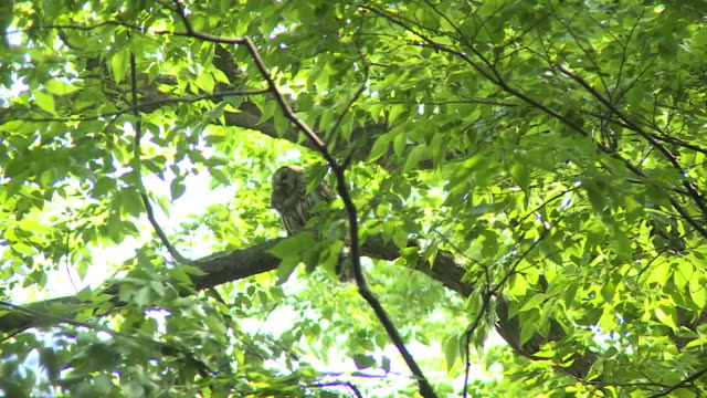 ural owl with small animal in mouth, tochigi, japan - animal mouth stock videos & royalty-free footage