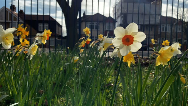 urban daffodils. close-up of flowers with traffic and city life in background - flower head stock videos & royalty-free footage