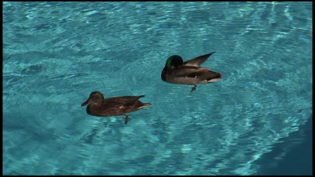 (HD1080i) Urban Ducks in Swimming Pool