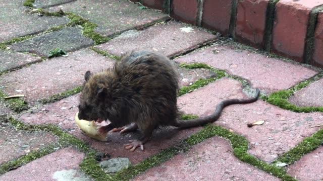 Urban rat eating food