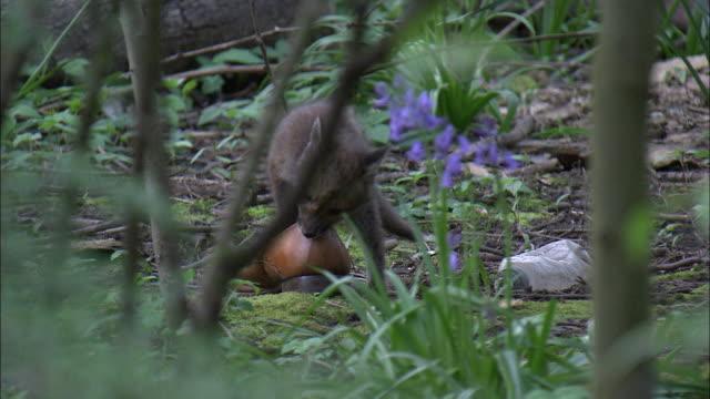 Urban red fox (Vulpes vulpes) cub chews on shoe in garden, Glasgow, Scotland