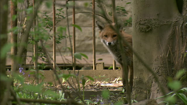urban red fox (vulpes vulpes) in garden, glasgow, scotland - fence stock videos & royalty-free footage
