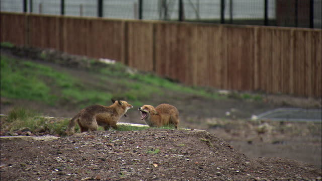 Urban red foxes (Vulpes vulpes) fight on wasteland, Glasgow, Scotland