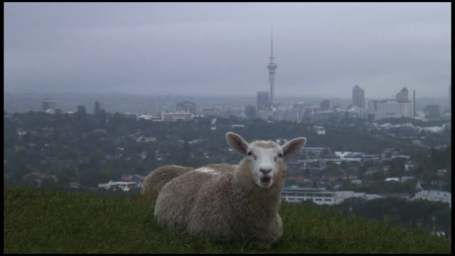(hd1080) urban sheep (with cityscape background) - sheep stock videos & royalty-free footage