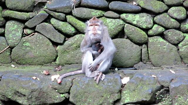 urban wild macaque monkey (macaca fascicularis) mother and newborn - fare la guardia video stock e b–roll