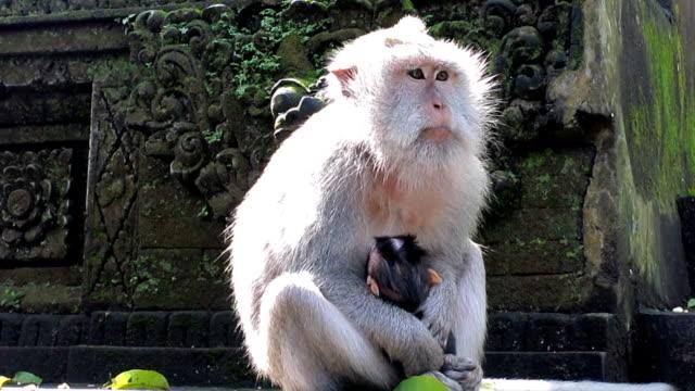 Urban Wild Macaque Monkey (Macaca fascicularis) Mother and Newborn