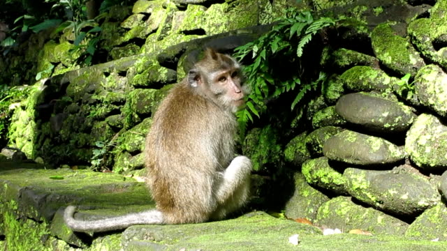 urban young wild macaque monkey (macaca fascicularis) in city - macaque stock videos and b-roll footage
