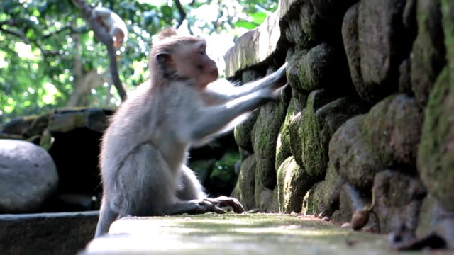 Urban Young Wild Macaque Monkey (Macaca fascicularis) in City
