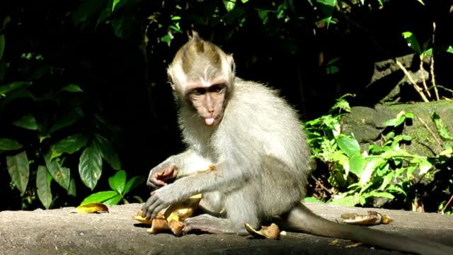 Stedelijke jonge Wild makaak Monkey (Macaca fascicularis) in stad