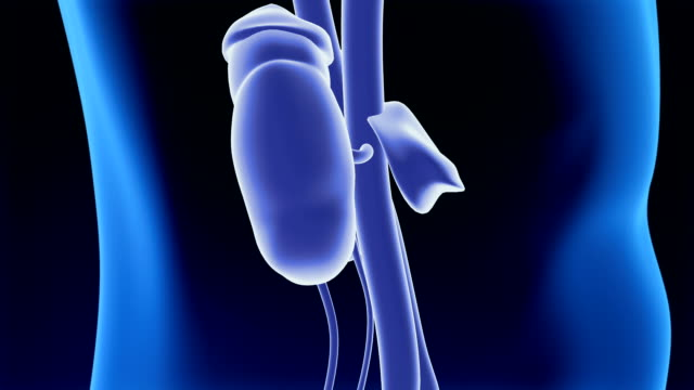 urinary system - postura video stock e b–roll