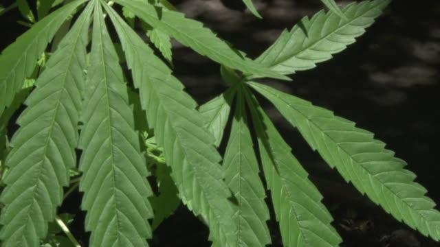 stockvideo's en b-roll-footage met uruguay se lanza este martes a legalizar la produccion y consumo de marihuana una iniciativa inedita en el mundo impulsada por el presidente de... - experimento