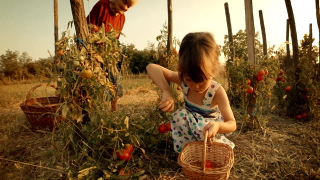 pov, user generated content. a little girl learns from her grandmother how to pick tomatoes. real people, rural scene,. lens flare, unusual angle, gopro. - jam stock videos & royalty-free footage