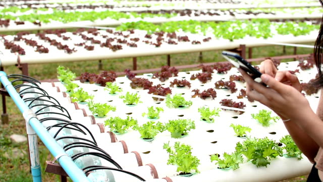 using smart phone in cultivation hydroponics green vegetable in farm - hydroponics stock videos & royalty-free footage