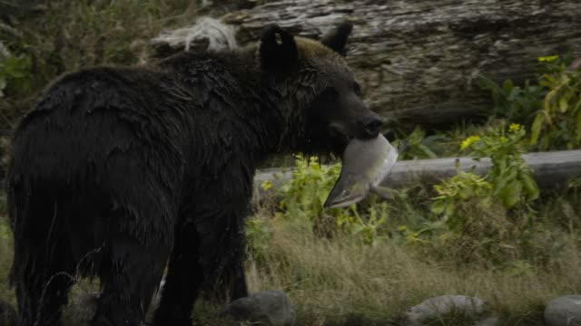 stockvideo's en b-roll-footage met ussuri brown bear catches pink salmon. hokkaido - buitensport