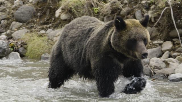 vidéos et rushes de ussuri brown bear wades through river, hokkaido - ours brun