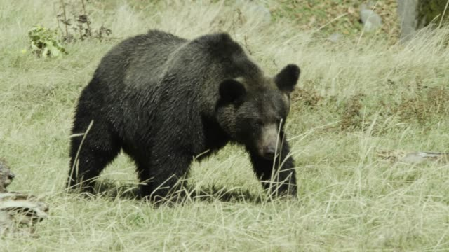 ussuri brown bear walks through meadow, hokkaido - wildlife tracking tag stock videos and b-roll footage