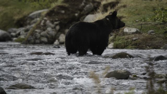 ussuri brown bear walks through river, hokkaido - kleine gruppe von tieren stock-videos und b-roll-filmmaterial